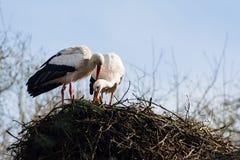 Storkpar som bygger ett rede Arkivfoto
