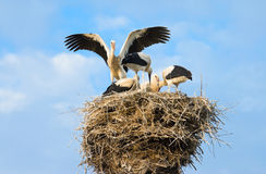 Storks. Family of storks on a nest Stock Photo