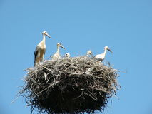 Storks. Five storks in their nest Stock Photography