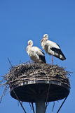 Storks. A pair of storks in their aerie Royalty Free Stock Photos