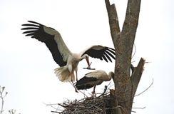 Storks Stock Images