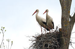 Storks Royalty Free Stock Image