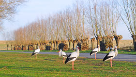 Storks Royalty Free Stock Image