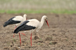 Storks. Two storks in the field Stock Photo