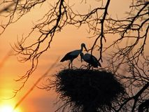 Storks Royalty Free Stock Photography