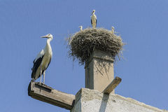 storks Fotografering för Bildbyråer
