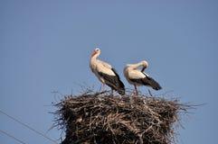 storks Royaltyfria Foton