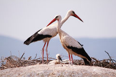 Storks above the rocks Royalty Free Stock Image