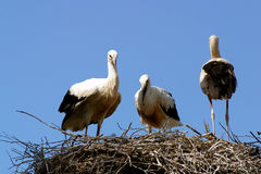 Storks in a aerie Royalty Free Stock Images