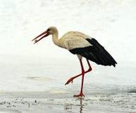 Storks Stock Photography