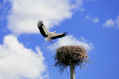 Storks Royalty Free Stock Images