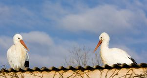 Storks breeding Royalty Free Stock Images