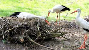 Storks building their nest stock footage