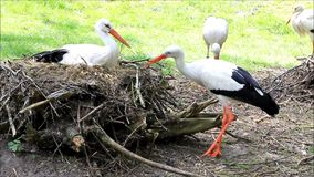 Storks building their nest with twigs stock footage