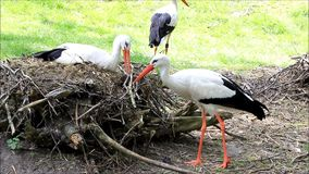 Storks building their nest with twigs stock video