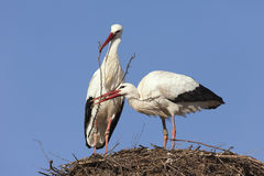 Storks building their nest Stock Images