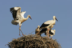 Storks - Ciconia. Young storks on the nest. - Ciconia Stock Images