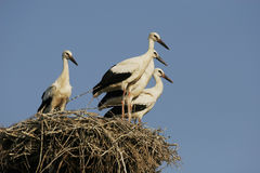 Storks - Ciconia. Young storks on the nest. - Ciconia Stock Photo