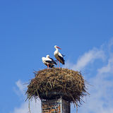 Storks ciconia. Two storks ciconia in their nest with blue sky Royalty Free Stock Images