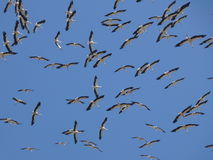 Storks circling in the sky royalty free stock images