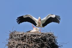 Storks clattering Royalty Free Stock Image