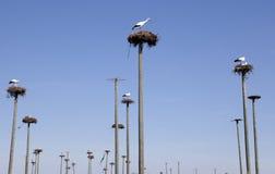 Storks colony Royalty Free Stock Photos