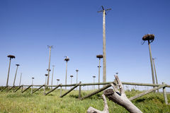 Storks colony Royalty Free Stock Images