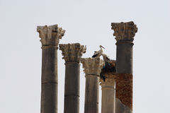 Storks and Columns of Volubilis Royalty Free Stock Image
