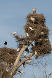 Storks commune Royalty Free Stock Photos