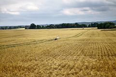 Storks on corn field. Two storks on corn field Royalty Free Stock Photography