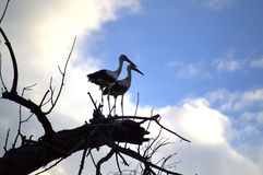Storks couple Royalty Free Stock Images
