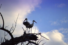Storks couple Stock Photography