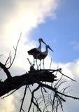 Storks couple Stock Photo