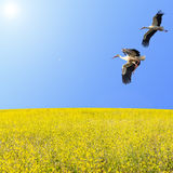 Storks couple flying over spring flowering meadow Royalty Free Stock Photo