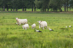 Storks and cows on a meadow. Some storks and curious cows on a meadow Royalty Free Stock Photos