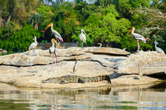 Storks and crocodile. Royalty Free Stock Photo