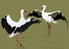 Storks. The dance of two storks with their wings spread out in the water Royalty Free Stock Photo