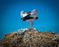 Storks on the el baddi palace,marrakec,morocco. Stork courtship on nest on top of  the el baddi palace in marakesh,morocco Royalty Free Stock Images