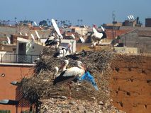 Storks in El Badi Palace. Marrakech Stock Images