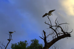 Storks evening dry tree Stock Photo