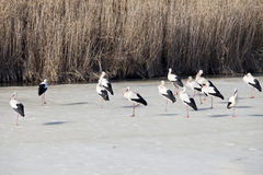 Storks family on the lake Royalty Free Stock Images