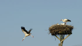 Storks family In The Nest. Storks in cute little nest in the city center Royalty Free Stock Photo
