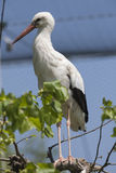 Storks in the farn Stock Photos