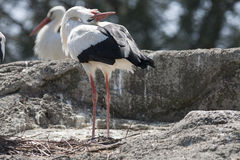 Storks in the farn Stock Image
