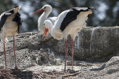 Storks in the farn Stock Photography