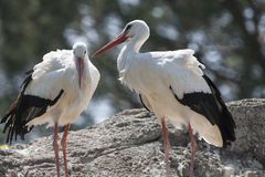 Storks in the farn Royalty Free Stock Images
