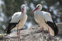 Storks in the farn Royalty Free Stock Photo