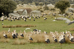 Storks in the field Stock Images