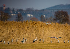 Storks on a field and in the air. Storks and Grey Cranes on a field and in the air near the City of Erlangen, Germany Royalty Free Stock Images