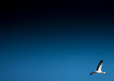 Storks on a field and in the air Royalty Free Stock Photo